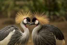 grey-crowned-crane-bird-crane-animal-45853