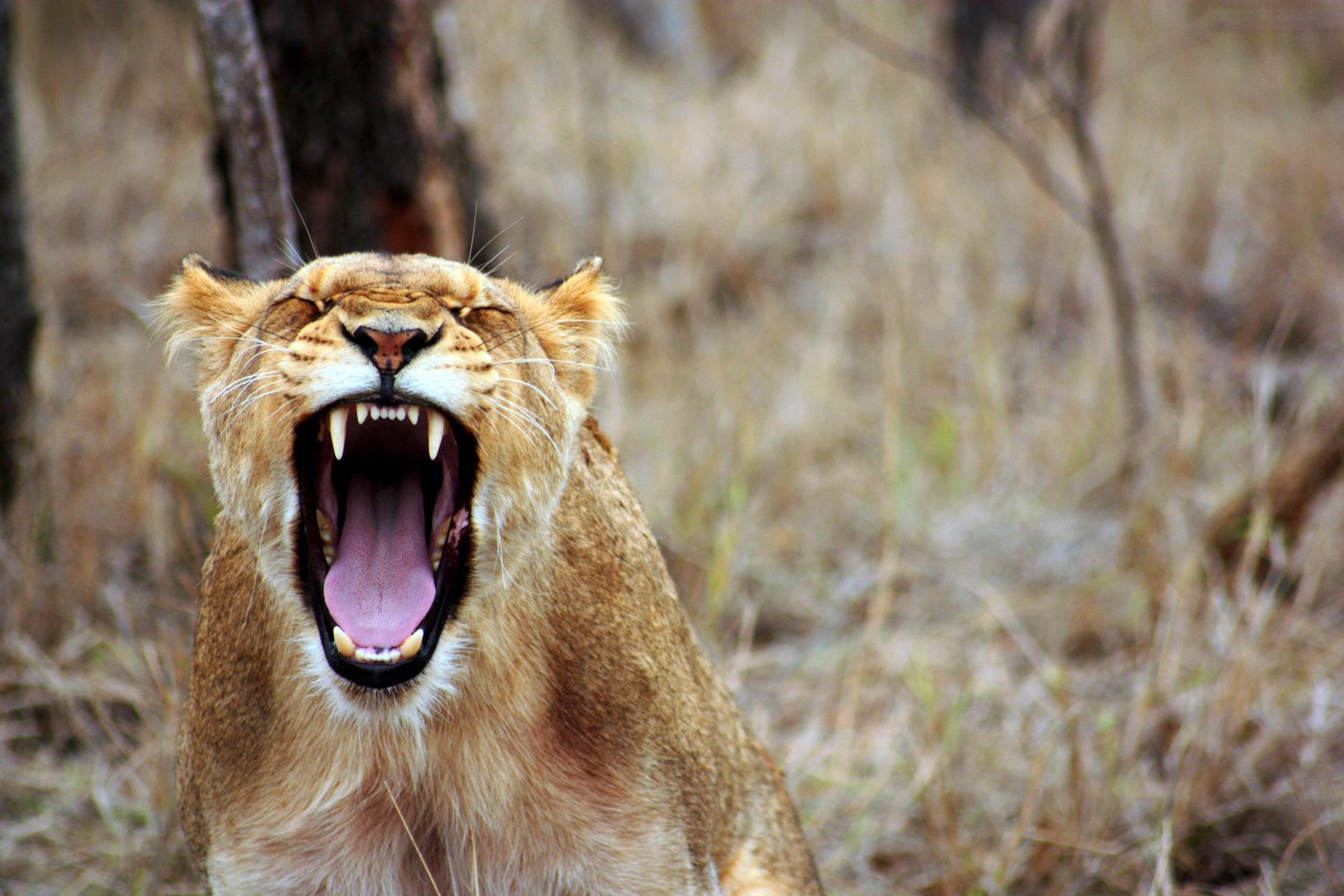 leo-animal-savannah-lioness-55814